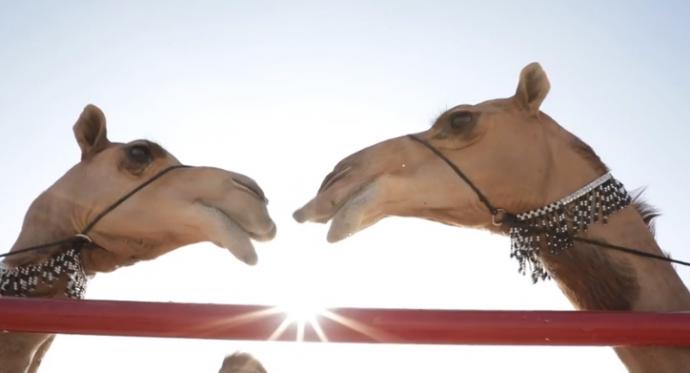 Конкурс красоты среди верблюдов - и дисквалификация за... ботокс, гормоны и пластику? Теперь вы видели все :)