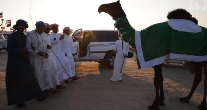 Конкурс красоты среди верблюдов - и дисквалификация за... ботокс, гормоны и пластику? Теперь вы видели все :) рис 3