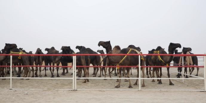Конкурс красоты среди верблюдов - и дисквалификация за... ботокс, гормоны и пластику? Теперь вы видели все :) рис 4