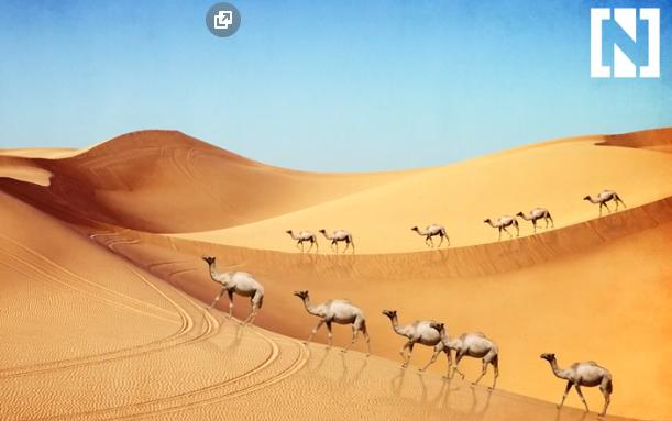 Конкурс красоты среди верблюдов - и дисквалификация за... ботокс, гормоны и пластику? Теперь вы видели все :) рис 2