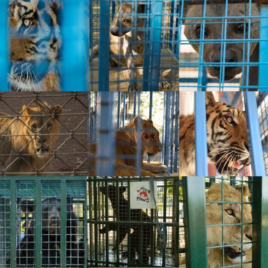 SetRatioSize540540-all_nine_animals_aleppo.jpg
