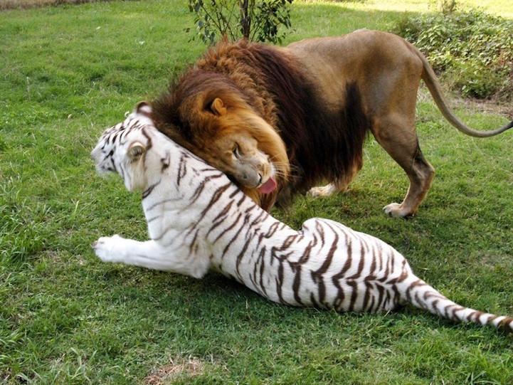 Лев потерял гриву, но не любовь к белоснежной тигрице! У них никогда не будет лигрят, но их привязанность - вечна... рис 2