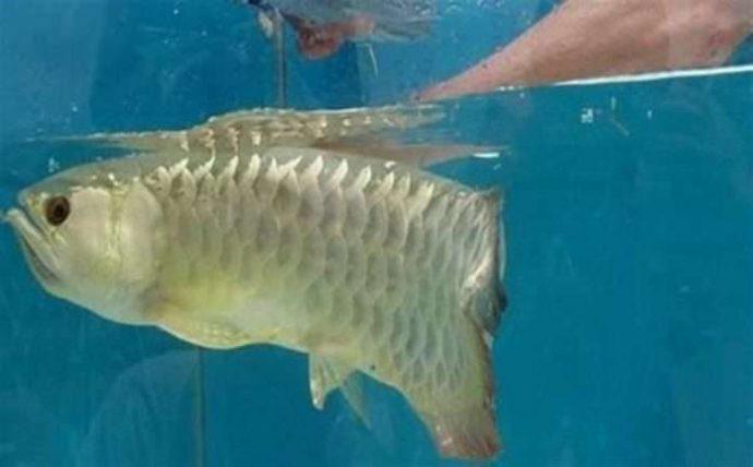Золота много не бывает! Мужчина купил дорогущую золотую рыбу Аровану с бооольшим сюрпризом! рис 2