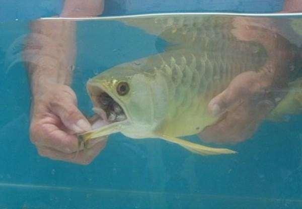 Золота много не бывает! Мужчина купил дорогущую золотую рыбу Аровану с бооольшим сюрпризом! рис 3