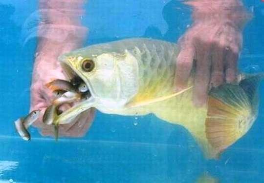 Золота много не бывает! Мужчина купил дорогущую золотую рыбу Аровану с бооольшим сюрпризом! рис 5