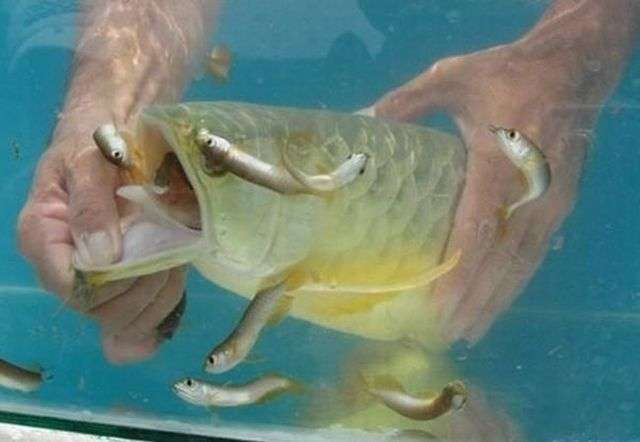 Золота много не бывает! Мужчина купил дорогущую золотую рыбу Аровану с бооольшим сюрпризом! рис 6