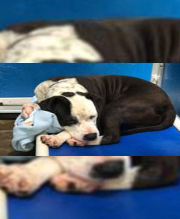Одеяло любви: всё, что нужно собаке! А ведь никто не хотел её - из-за породы и печальных глаз... рис 3