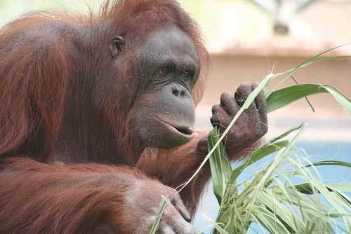 """""""Люди, попробуйте травку!"""" Орангутанги настолько умны, что применяют и показывают учёным лечебные растения! рис 4"""