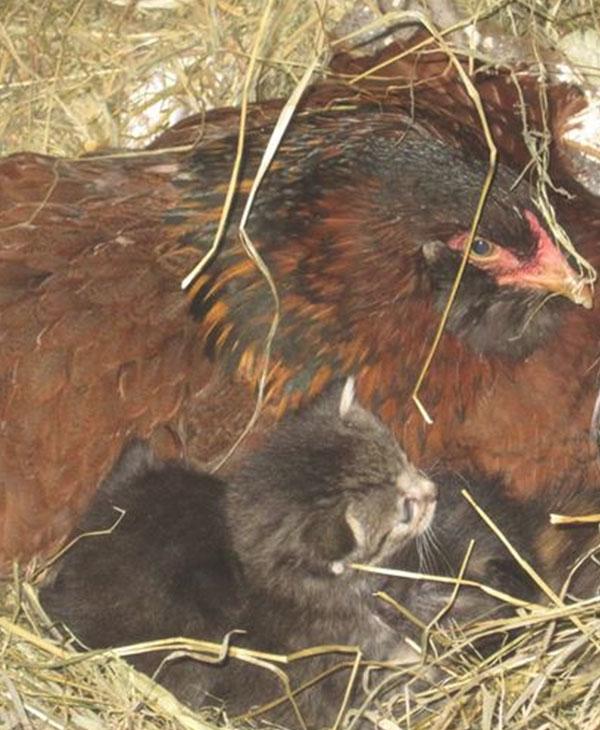 Эта дружелюбная курица вдруг стала прятаться... Заглянув в гнездо, фермер был сражен наповал! рис 4