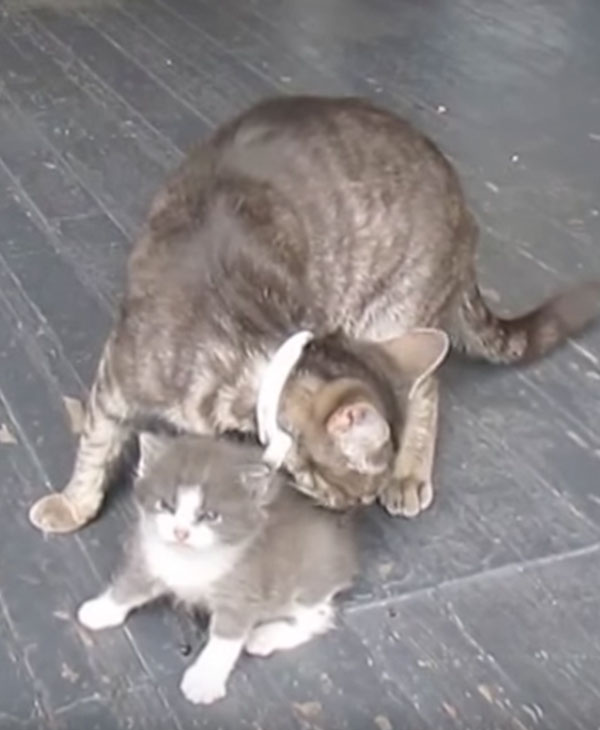 Непоседа-котик убежал от мамы и упал в канализацию! Спасен, но не сильно доволен... Почему? рис 4