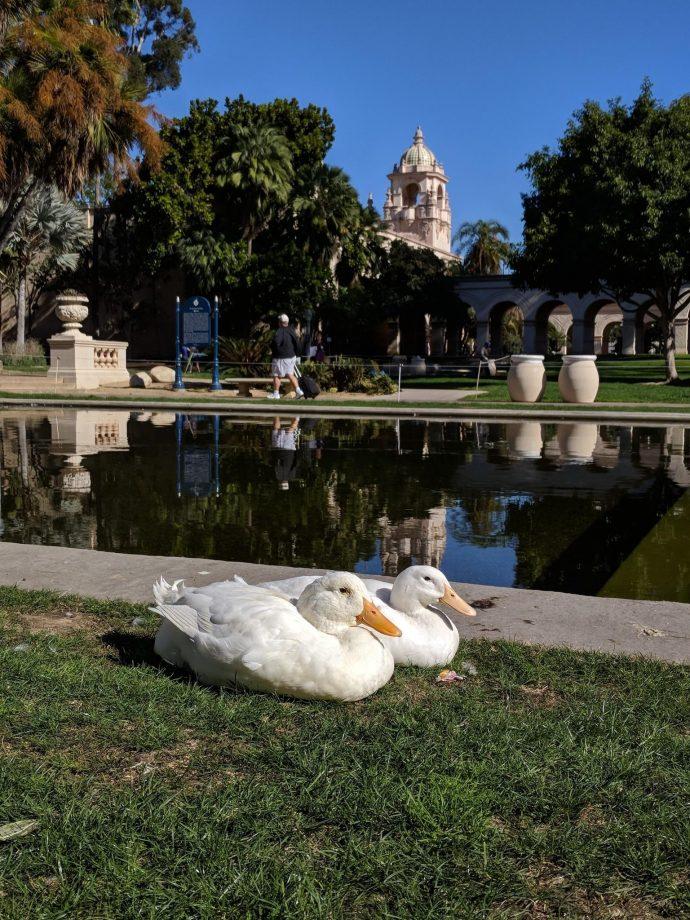 """""""Утки, пошли домой!"""" В парке люди заметили милую белоснежную пару, которая почему-то боялась воды... рис 2"""