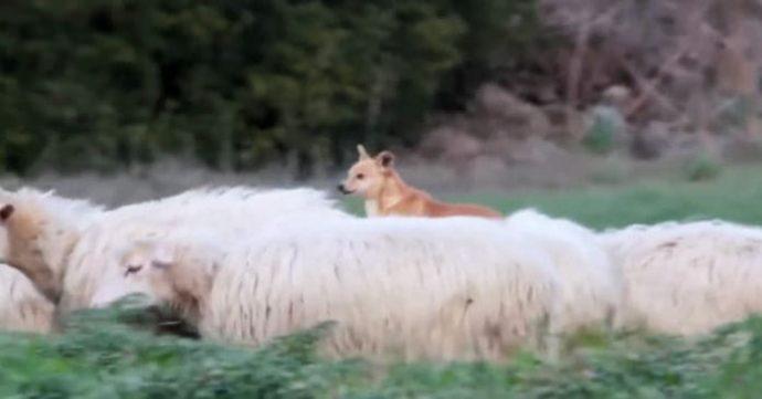 the-worst-sheepdog-hilarious-696x364