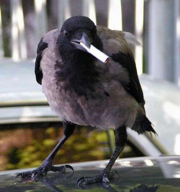 Голландских ворон учат убирать окурки за людьми! Или, может быть, у людей проснется совесть?