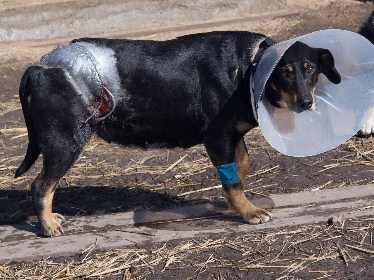 История Землянички - ласковой собаки, которую едва не разрубили пополам! рис 5