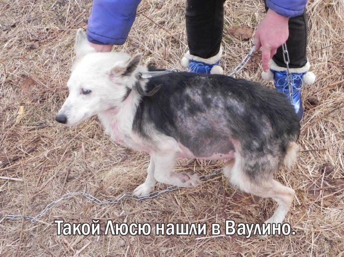 """""""Мы сделали всё, что могли..."""" Люся, Маша и Енот – выжившие собаки из Ваулино"""