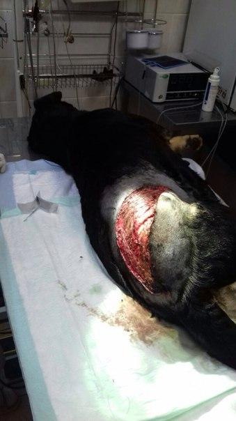 История Землянички - ласковой собаки, которую едва не разрубили пополам! рис 3
