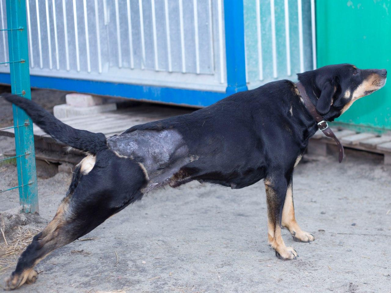 История Землянички - ласковой собаки, которую едва не разрубили пополам! рис 6