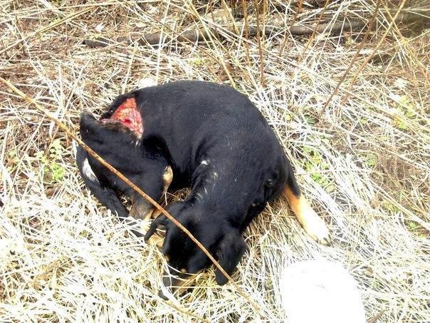 История Землянички - ласковой собаки, которую едва не разрубили пополам! рис 2