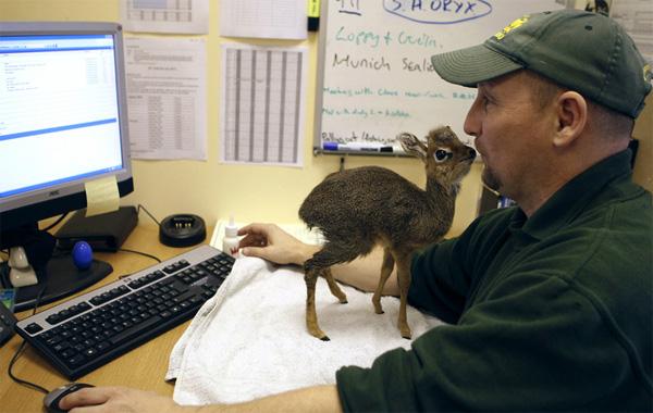 Мини-мисс очарование Кении! Самая маленькая антилопа в мире может поместиться на ладони :) рис 2