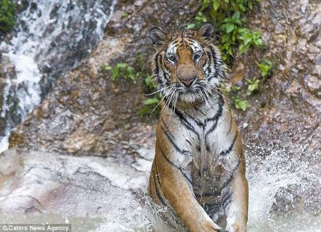В Таиланде обнаружен Тигра из сказки о Винни-Пухе! Фотограф снял уникальные кадры хищника-шалуна...) рис 4