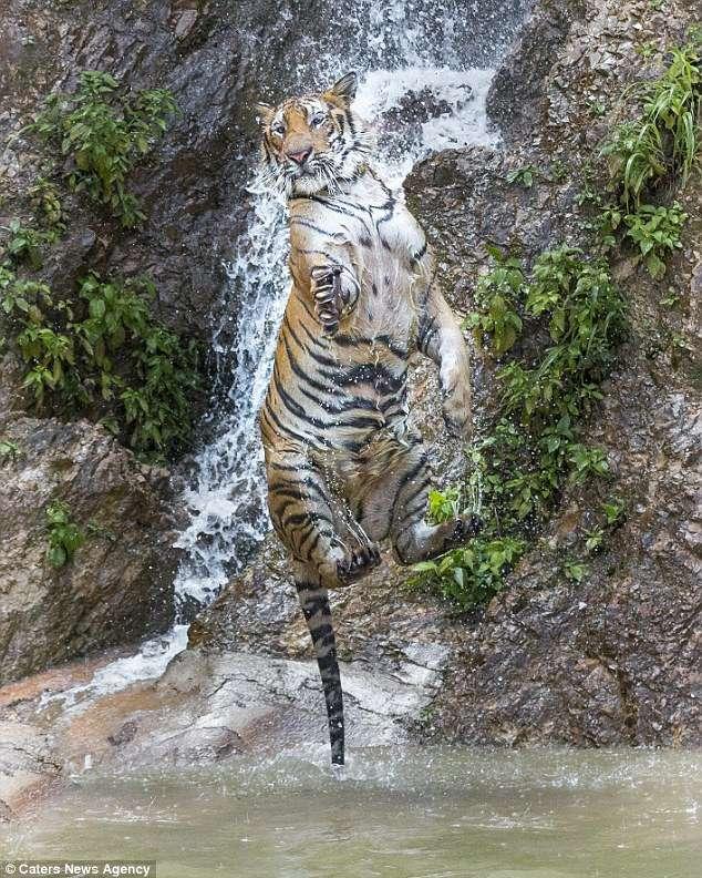 В Таиланде обнаружен Тигра из сказки о Винни-Пухе! Фотограф снял уникальные кадры хищника-шалуна...) рис 2
