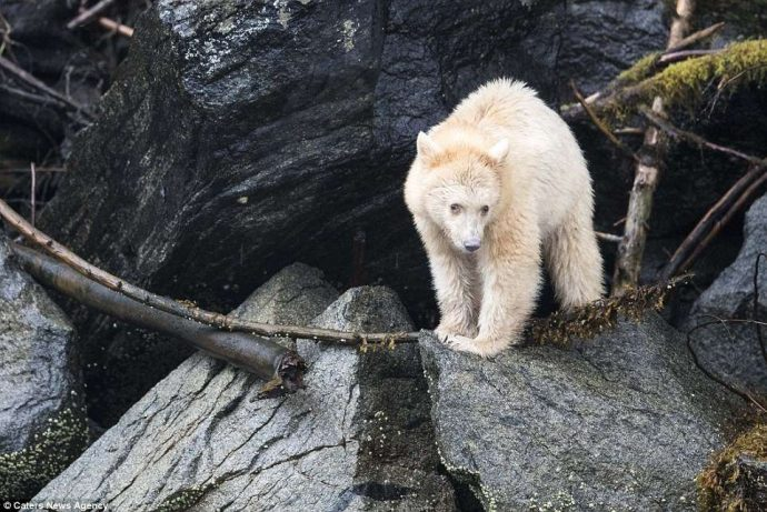 """""""Он показал мне язык, как ребёнок!"""" Очень редкого""""призрачного"""" медведя удалось заснять в Канаде... рис 6"""
