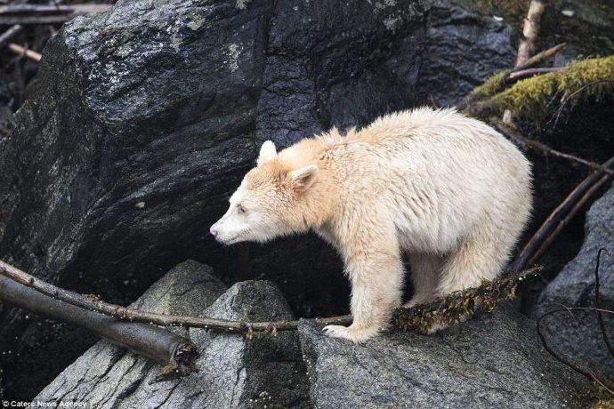 """""""Он показал мне язык, как ребёнок!"""" Очень редкого""""призрачного"""" медведя удалось заснять в Канаде... рис 7"""