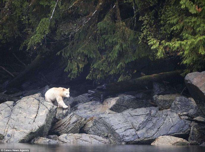 """""""Он показал мне язык, как ребёнок!"""" Очень редкого""""призрачного"""" медведя удалось заснять в Канаде... рис 2"""