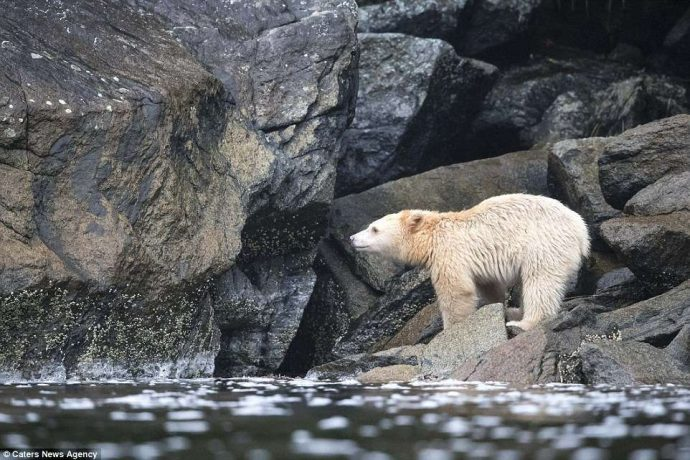 """""""Он показал мне язык, как ребёнок!"""" Очень редкого""""призрачного"""" медведя удалось заснять в Канаде..."""