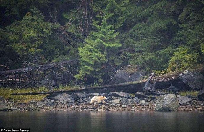 """""""Он показал мне язык, как ребёнок!"""" Очень редкого""""призрачного"""" медведя удалось заснять в Канаде... рис 4"""