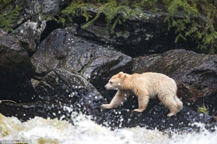 """""""Он показал мне язык, как ребёнок!"""" Очень редкого""""призрачного"""" медведя удалось заснять в Канаде... рис 3"""