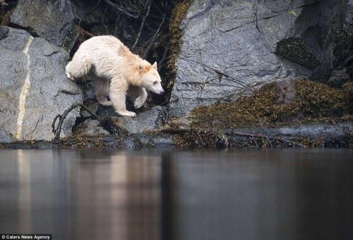 """""""Он показал мне язык, как ребёнок!"""" Очень редкого""""призрачного"""" медведя удалось заснять в Канаде... рис 10"""