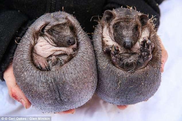 Это не каштаны - это кожаные ёжики! Малыши топали среди прохожих, пока не попали в добрые руки) рис 2