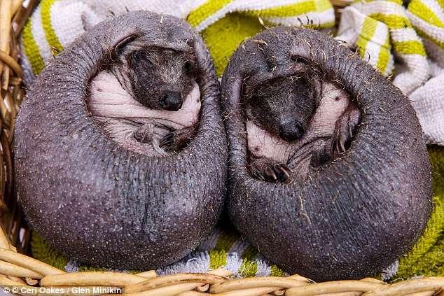 Это не каштаны - это кожаные ёжики! Малыши топали среди прохожих, пока не попали в добрые руки) рис 5