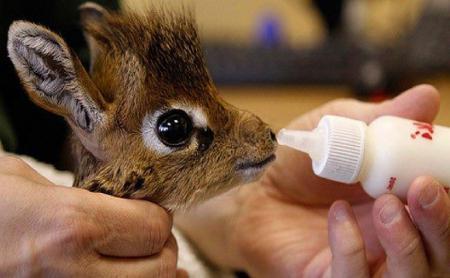 Мини-мисс очарование Кении! Самая маленькая антилопа в мире может поместиться на ладони :) рис 14