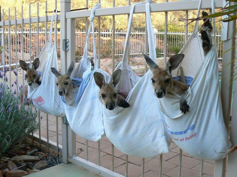 """Первые робкие прыжки осиротевшего кенгурёныша! Умилительные старания """"ребёнка из наволочки"""", которые ухватила камера :) рис 2"""