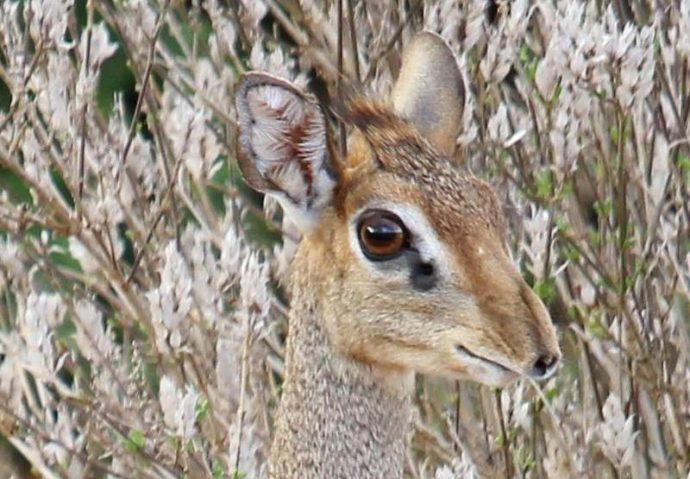 Мини-мисс очарование Кении! Самая маленькая антилопа в мире может поместиться на ладони :) рис 3