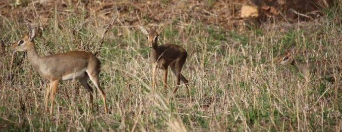 Мини-мисс очарование Кении! Самая маленькая антилопа в мире может поместиться на ладони :) рис 4