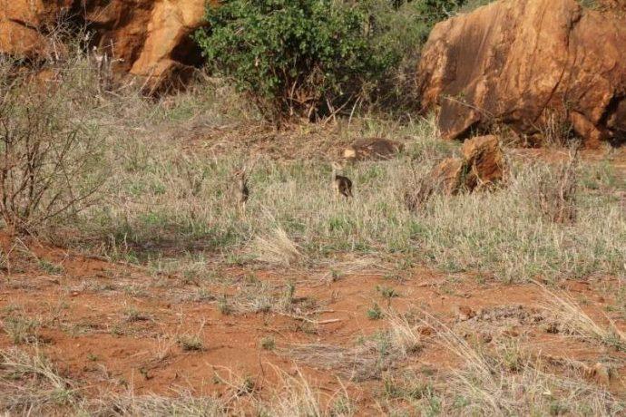 Мини-мисс очарование Кении! Самая маленькая антилопа в мире может поместиться на ладони :) рис 5