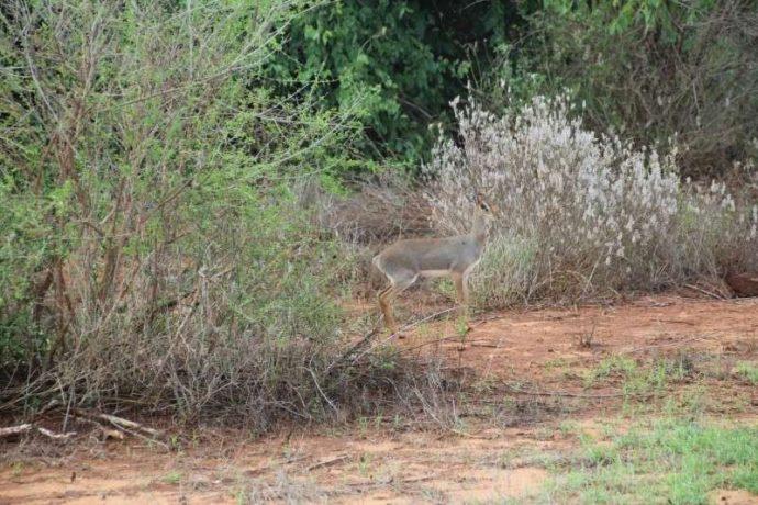 Мини-мисс очарование Кении! Самая маленькая антилопа в мире может поместиться на ладони :) рис 7