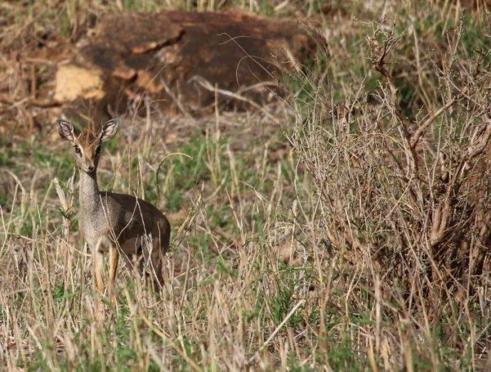 Мини-мисс очарование Кении! Самая маленькая антилопа в мире может поместиться на ладони :) рис 8