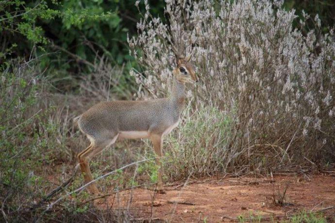 Мини-мисс очарование Кении! Самая маленькая антилопа в мире может поместиться на ладони :) рис 12