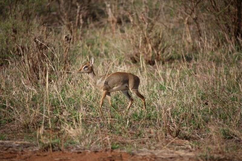 Мини-мисс очарование Кении! Самая маленькая антилопа в мире может поместиться на ладони :) рис 17