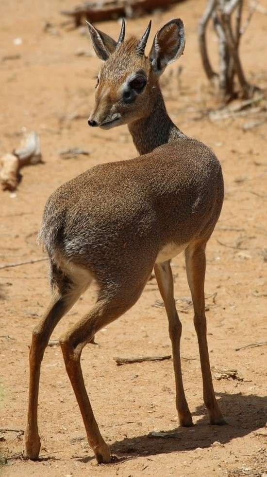 Мини-мисс очарование Кении! Самая маленькая антилопа в мире может поместиться на ладони :) рис 16