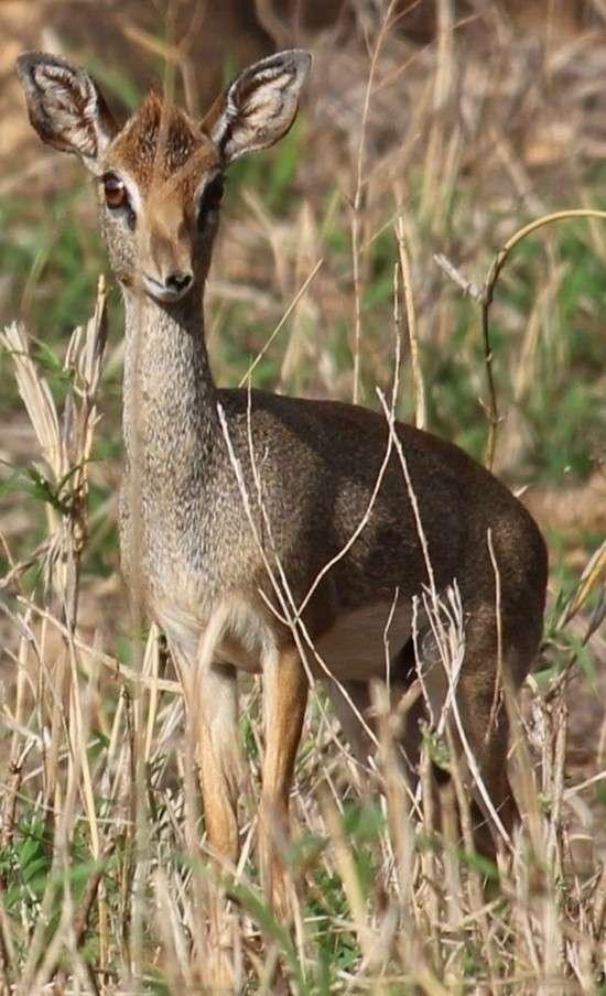Мини-мисс очарование Кении! Самая маленькая антилопа в мире может поместиться на ладони :) рис 15