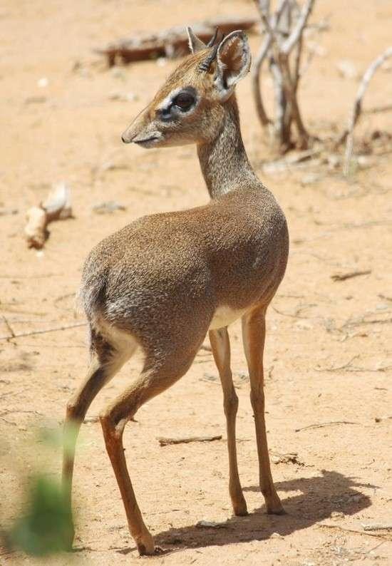 Мини-мисс очарование Кении! Самая маленькая антилопа в мире может поместиться на ладони :) рис 11