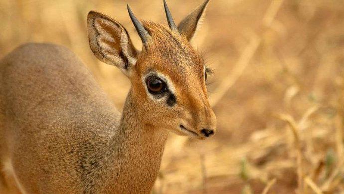 Мини-мисс очарование Кении! Самая маленькая антилопа в мире может поместиться на ладони :) рис 9