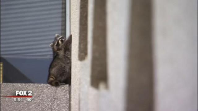 «Привет, а у вас печеньки есть?» Енот в поисках еды забрался на 6-й этаж офисного здания! рис 2