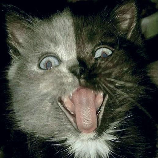 """""""Двуликий"""" кот Нарния: невероятно редкое сочетание серого и чёрного! Эта мордочка навсегда врезается в память... рис 4"""