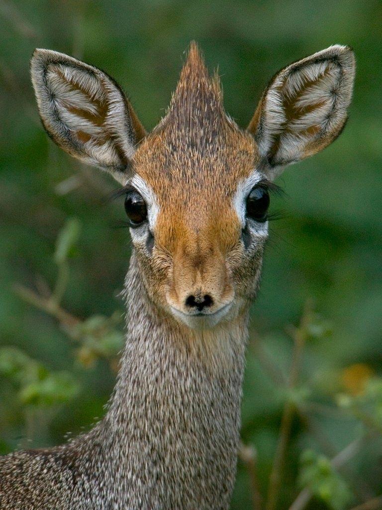 Мини-мисс очарование Кении! Самая маленькая антилопа в мире может поместиться на ладони :) рис 6